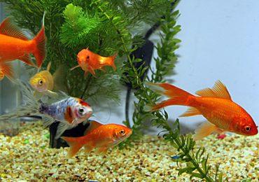 Научете повече за отглеждането на рибки в аквариум
