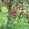 Биоенергията на дърветата ябълка , бряст, кипарис и топола