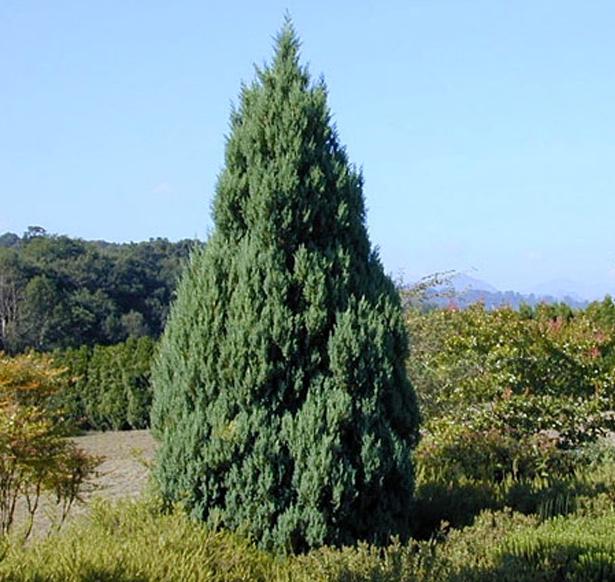 Дървовидна хвойна