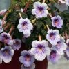 Ахименес (Achimenes) е много красиво стайно цвете! Вижте как се отглежда!