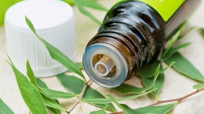 Чаеното дърво и маслото от него